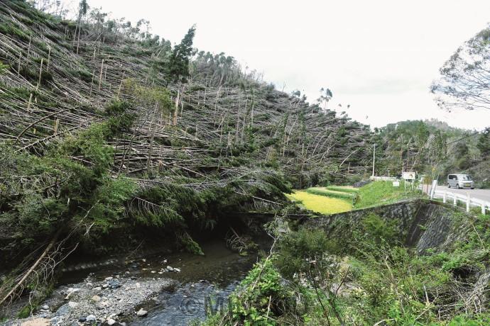 高槻市北部や京都市西京区を流れる芥川の流域で、大量の倒木被害が発生しました